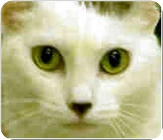 Japanese Bobtail Cat for adoption in San Clemente, California - NALA = Declawed