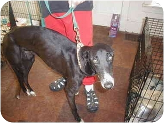 Greyhound Dog for adoption in Montgomery, Alabama - Flash