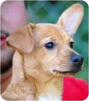 Miniature Pinscher Mix Puppy for adoption in Inman, South Carolina - Ann of Green Gables