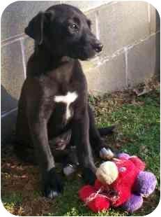 Labrador Retriever/Terrier (Unknown Type, Medium) Mix Puppy for adoption in Wake Forest, North Carolina - Runa