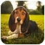 Photo 1 - Basset Hound Mix Puppy for adoption in Ile-Perrot, Quebec - SIDONIE