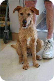 Irish Terrier Puppy for adoption in Wichita, Kansas - Redford