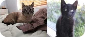 Domestic Shorthair Cat for adoption in Saanichton, British Columbia - Beaker