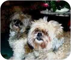 Lhasa Apso/Shih Tzu Mix Dog for adoption in Wilmington, Delaware - Copper and Delaney
