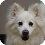 American Eskimo Dog Mix Dog for adoption in Eatontown, New Jersey - Samantha