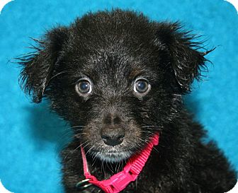 Australian Shepherd/Border Collie Mix Puppy for adoption in Westminster, Colorado - Elizabeth