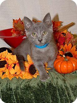 Russian Blue Kitten for adoption in Elgin, Illinois - EDWARDO