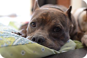 Staffordshire Bull Terrier/English Bulldog Mix Dog for adoption in Los Angeles, California - Ozzie