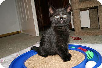 Domestic Shorthair Kitten for adoption in Trevose, Pennsylvania - Beau