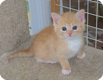 Maine Coon Kitten for adoption in Harrisburg, North Carolina - Simba