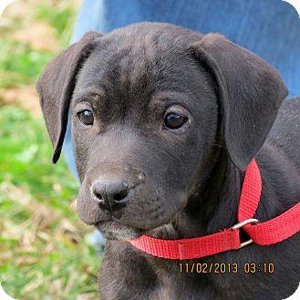 Labrador Retriever Mix Puppy for adoption in Salem, New Hampshire - PUPPY RED BOY