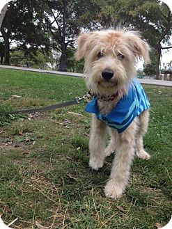 Terrier (Unknown Type, Small)/Poodle (Miniature) Mix Puppy for adoption in Corona, California - LEO