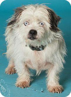 Terrier (Unknown Type, Small)/Shih Tzu Mix Dog for adoption in Phoenix, Arizona - Sinatra - ice blue eyes!