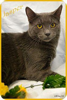 American Shorthair Cat for adoption in Orlando, Florida - Jasper