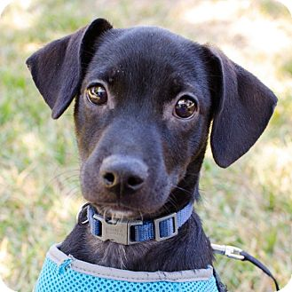 Chihuahua/Dachshund Mix Puppy for adoption in Houston, Texas - Kono