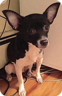 Chihuahua Dog for adoption in Wallingford Area, Connecticut - Sara