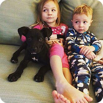 Great Dane/Mastiff Mix Puppy for adoption in Lima, Pennsylvania - Pickle