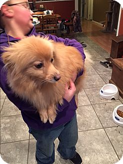 Pomeranian Mix Dog for adoption in Hagerstown, Maryland - Scooter