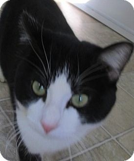 Domestic Shorthair Cat for adoption in Aiken, South Carolina - STEWART