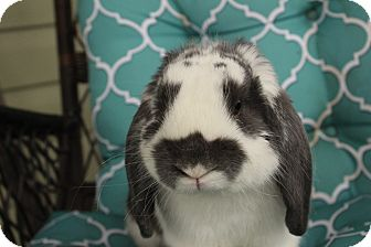 Lop-Eared Mix for adoption in Hillside, New Jersey - Mortimer