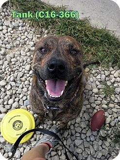 Pit Bull Terrier Mix Dog for adoption in Tiffin, Ohio - Tank