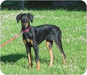 Doberman Pinscher Puppy for adoption in Austin, Minnesota - Pandora