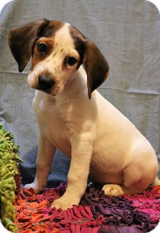 Beagle/English Pointer Mix Puppy for adoption in Southington, Connecticut - Galahad