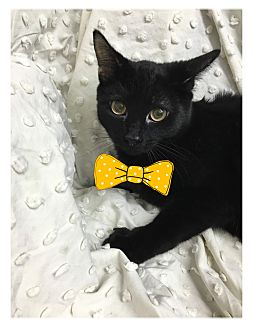 Domestic Shorthair Kitten for adoption in Paducah, Kentucky - Tamone