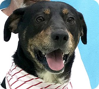 Shepherd (Unknown Type) Mix Dog for adoption in Evansville, Indiana - Sting