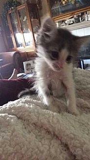 Domestic Mediumhair Cat for adoption in Calimesa, California - Annie