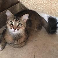 Adopt A Pet :: Sapphire - Temecula, CA