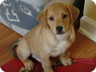 Labrador Retriever/Catahoula Leopard Dog Mix Puppy for adoption in Haggerstown, Maryland - Rocket
