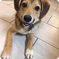 Beagle Puppy for adoption in Boston, Massachusetts - Rascal