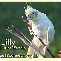 Adopt A Pet :: Lilly - South Bend, IN