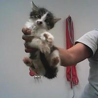 Domestic Shorthair/Domestic Shorthair Mix Cat for adoption in Farmington, New Mexico - Karaoke