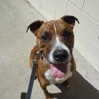 Adopt A Pet :: Jameson - Greenville, PA