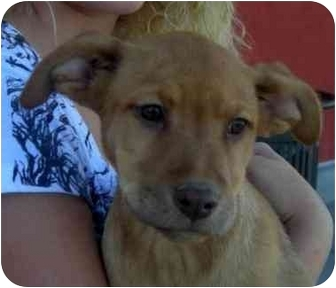 Australian Cattle Dog Mix Puppy for adoption in Palmdale, California - Margo