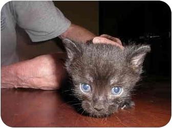 Domestic Shorthair Kitten for adoption in Houston, Texas - Snuffy
