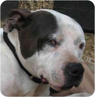 American Bulldog Dog for adoption in Poway, California - General Patton
