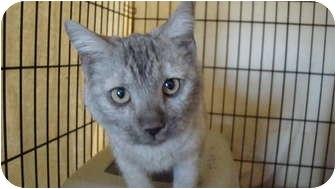 Burmese Kitten for adoption in Pueblo West, Colorado - *