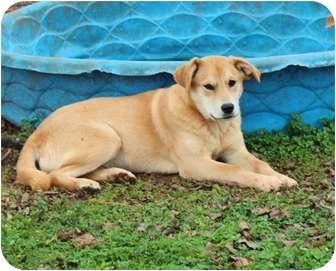 Labrador Retriever Mix Dog for adoption in Plainfield, Connecticut - Nancy...Reduced fee $300