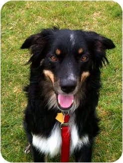 Australian Shepherd Dog for adoption in Washington, Illinois - Austin