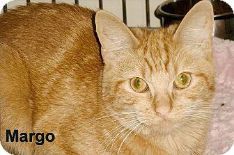 Domestic Shorthair Cat for adoption in Medway, Massachusetts - Margo