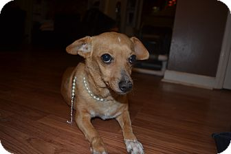 Chihuahua/Terrier (Unknown Type, Small) Mix Dog for adoption in Nashville, Tennessee - Coconut