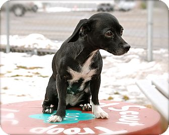 Chihuahua/Dachshund Mix Dog for adoption in Meridian, Idaho - Spooner