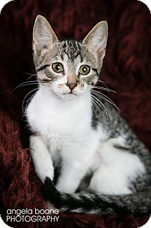 Domestic Shorthair Kitten for adoption in Eagan, Minnesota - Lexus