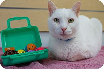 Domestic Shorthair Cat for adoption in Houston, Texas - Cotton