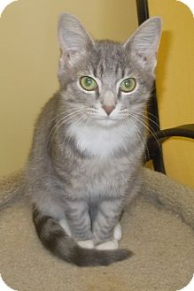 "Domestic Shorthair Kitten for adoption in Scottsburg, Indiana - "" Sly """