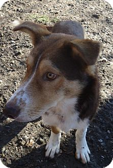 Collie/German Shepherd Dog Mix Dog for adoption in Ashland, Oregon - Charlie