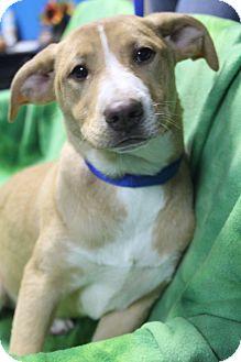 Labrador Retriever/Terrier (Unknown Type, Medium) Mix Puppy for adoption in Hamburg, Pennsylvania - Aurora